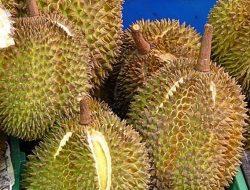 Tanda Buah Durian Yang Matang Itu Seperti Ini