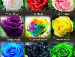 Warna Bunga Mawar dan Maknanya