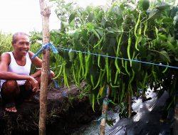 Agar Tanaman Cabe Tetap Sehat di Musim Hujan