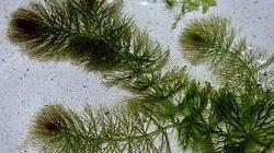 250px-CeratophyllumSubmersum