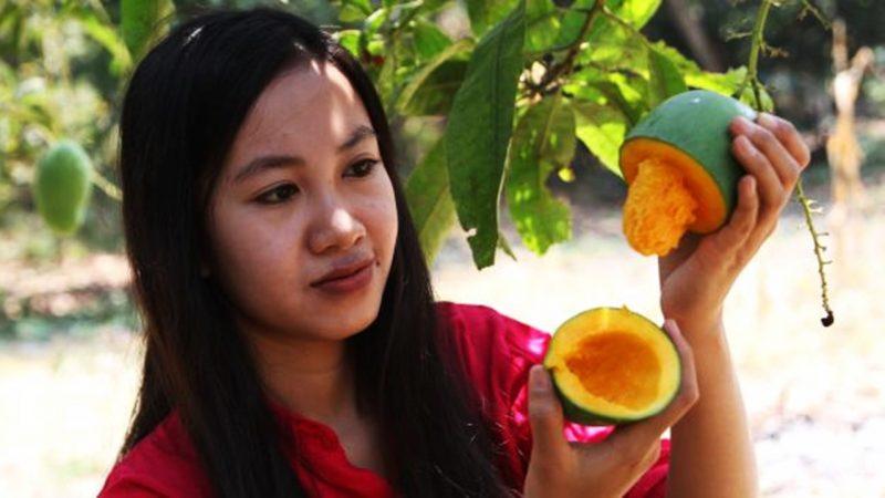 Gadis Memetik buah mangga langsung dari pohonnya