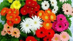 3.-Bunga-Aster-dan-Gerbera