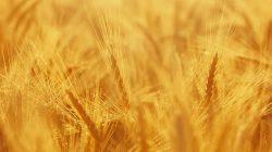 Wheat_field_theme_wallpaper_1366x768