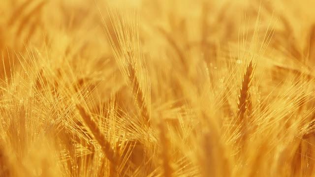 Ilustrasi, tanaman gandum tumbuh di ladang
