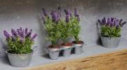 Menanam Lavender di Rrmah