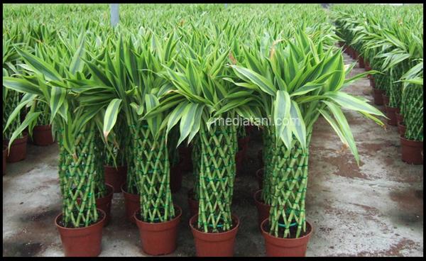 Bambu Rejeki