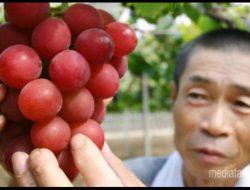 Anggur Super Asal Jepang Ini Dijual 4,1Juta Rupiah Perbiji