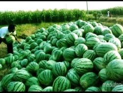 Petani Sukses Berkat Agribisnis Tanaman Semangka