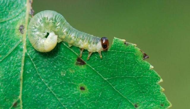 Ulat memakan daun