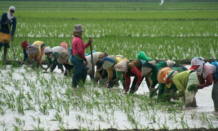 Sejumlah buruh tani wanita menanam padi di lahan sawah desa Tegalsembadra, Balongan, Indramayu, Jawa Barat, Minggu (23/2). Buruh tani wanita yang bekerja mulai dari menanam padi, mencabut gulma hingga panen per orang diberi upah sebesar Rp. 30 ribu hingga 50 ribu per hari dengan jam kerja mulai dari jam 07.30 hingga 15.00. ANTARA FOTO/Dedhez Anggara/ss/ama/14.