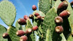 Prickly Pear Cactus 3_