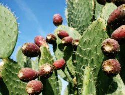 Tak Banyak Yang Tahu; Air Murni Terbaik Ada di Tanaman Kaktus Berduri