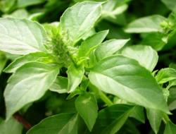 Budidaya Kemangi Hidroponik Organik yang Aman dan Sehat