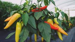Cara Bertanam Greenhouse Cabe Simple yang Cepat Panen