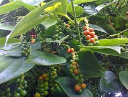 Kisah Sukses Petani Lada Inspiratif Bisa Kantongi 6 M Per Bulan