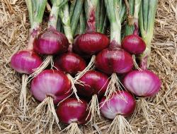 Petani Bawang Merah Sukses Modal Kecil Laba Berlipat Ganda