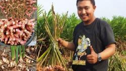 Petani Lengkuas Ini Berhasil Raup Omzet Hingga Ratusan Juta