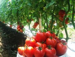 Petani Tomat Sukses, Untung Berlipat Ganda Dengan Modal Kecil