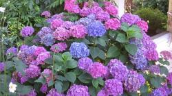 Budidaya Bunga Panca Warna Hydrangea yang Cantik
