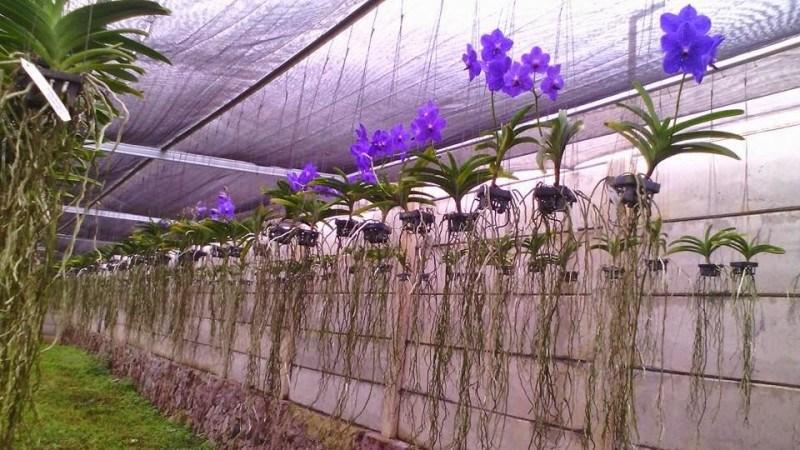 Cara Menanam Bunga Anggrek Agar Menghasilkan Bunga Yang Indah