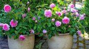 Cara Menanam Bunga Mawar Dengan Baik Dan Benar