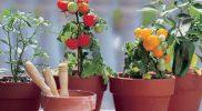 Cara Menanam Tomat Di Pot Agar Berbuah Banyak