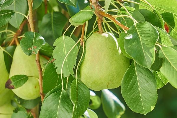 Tips Budidaya Buah Pir di Indonesia Cepat Panen Berbuah Lebat - Macam Macam Jenis Buah Pear