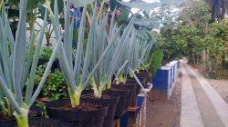 Tips dan Cara Menanam Bawang Merah Di Rumah Agar Tumbuh Subur
