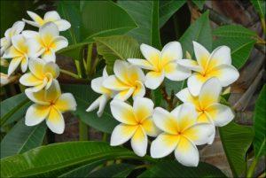 Bunga Kamboja Jenis Manfaat Dan Cara Pemeliharaannya Mediatani