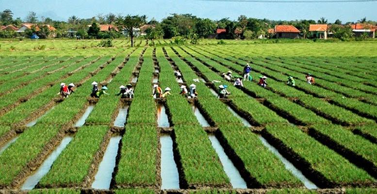 lahan menanam bawang merah