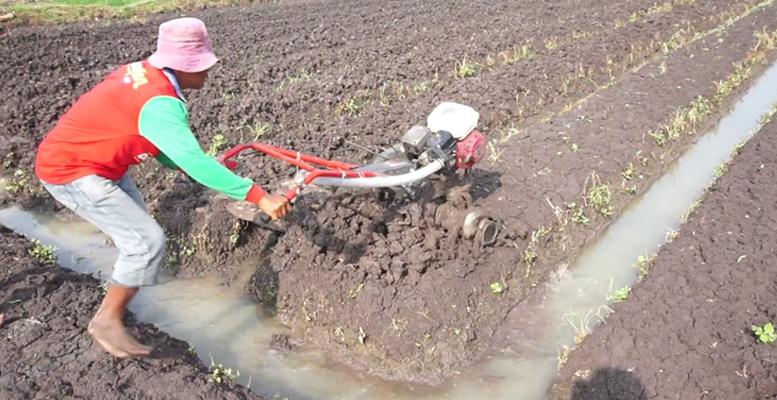 pengelolaan lahan bawang merah
