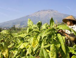 Nasib Petani Di tengah Pusaran Kenaikan Cukai Rokok