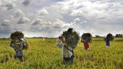 sejumlah-petani-memanen-padi-di-areal-pesawahan-di-kampung-_160316151531-780