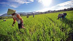 """Sejumlah buruh tani """"Merebu"""" ( membersihkan rumput liar ) didaerah persawahan tadah hujan Desa Tongngo, Kecamatan Sekongkang,Taliwang"""