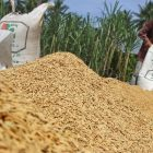 Pekerja menjemur gabah hasil panen petani di salah satu pabrik giling padi di Desa Grong-Grong, Kecamatan Darul Aman, Aceh Timur, Aceh, Kamis (1/9). Harga gabah kering giling dalam sebulan terakhir mengalami kenaikan dari Rp4.800 menjadi Rp5.500 per kilogram. ANTARA FOTO/Syifa Yulinnas/foc/16.