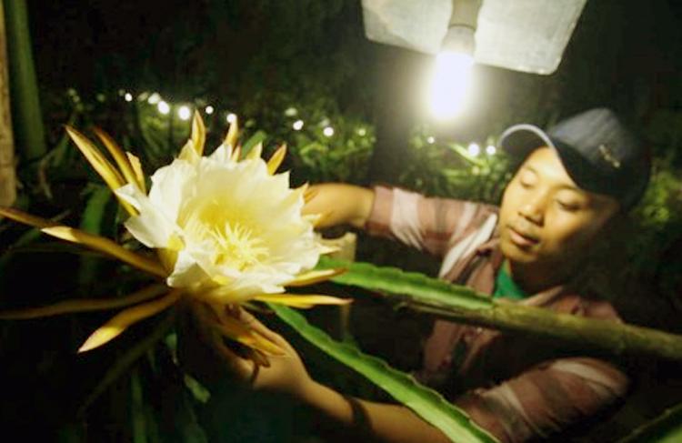 cara penyerbukan bunga buah naga