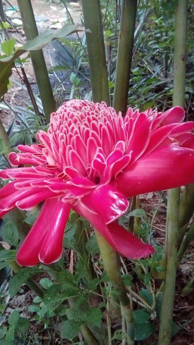 Cara tanam bibit bunga kecombrang di kebun