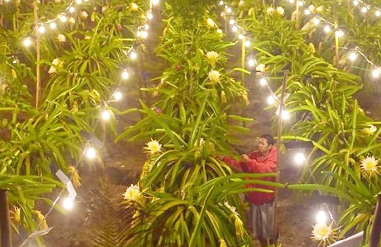 Lampu di kebun Buah Naga