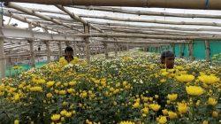 petani bunga krisan