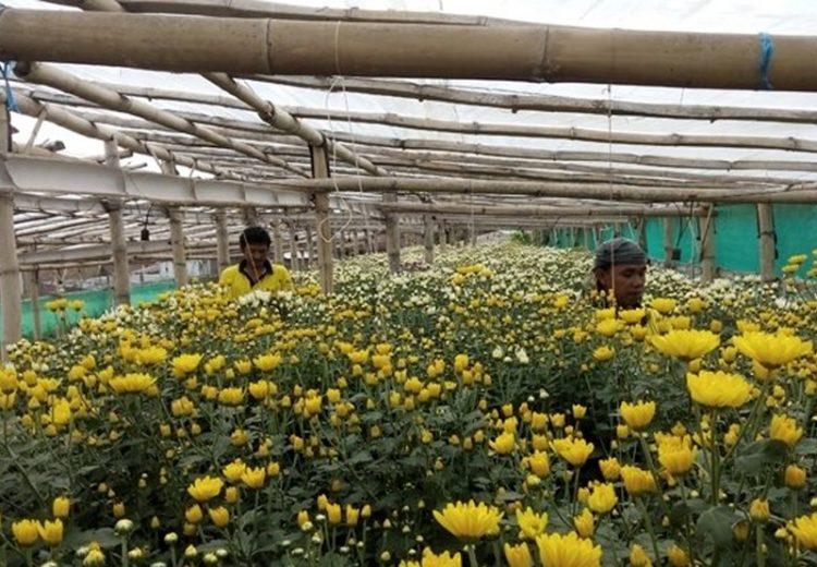 Harga bunga krisan melonjak lebih dari dua kali lipat karena banyak digunakan untuk dekorasi dan karangan bunga pernikahan Kahiyang Ayu-Bobby Nasution. [Foto/MNC Media/Taufik Budi]