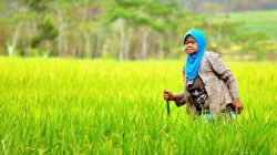 jenis padi unggul, jenis padi tahan wereng, jenis padi ciherang, jenis padi lokal, jenis padi hibrida, jenis padi gogo, jenis padi inpari, jenis padi berkualitas, jenis padi dan ciri cirinya, jenis padi yang paling enak,