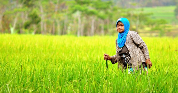 Wanita tua di lahan sawah miliknya [Foto: tpamungkas.blogspot.co.id]