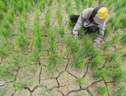 Kekurangan Air, Petani Manokwari Tunda Tanam Padi