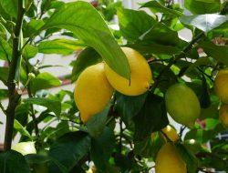 Cara Menanam Lemon Di Pekarangan Rumah