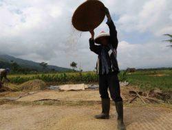 Benih Terbatas, Petani Aceh Terancam Gagal Tanam