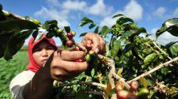 Petani memanen biji kopi arabika di lahan pertanian Desa Sungai Rumpun, Gunung Tujuh, Kerinci, Jambi.