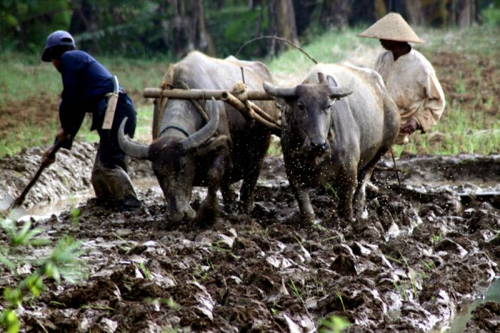 Petani membajak sawah menggunakan kerbau di lahan pertanian Kampung Sawah, Kabupaten Bogor, Jawa Barat, Selasa (19/9/2017). Dalam lima tahun ini, nasib petani makin menderita.  © Yulius Satria Wijaya /Antara Foto