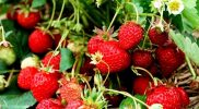 Menanam Strawberry di dataran rendah