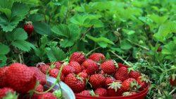 strawberry-agrowindo