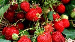 strawberry berbuah lebat
